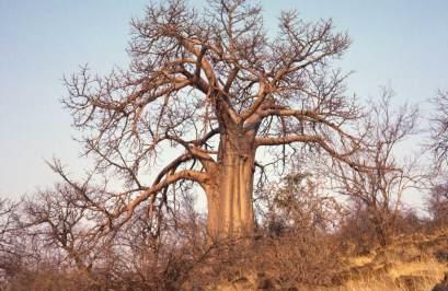 external image baobab.jpg